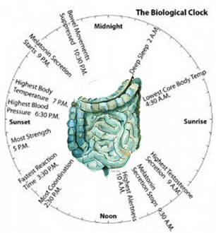 The Composition of the Intestinal Microbiota Varies According to the Circadian Cycle and Our Eating