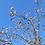 Thumbnail: Prunus 'Autumnalis Rosea'
