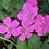 Thumbnail: Geranium � riversleaianum 'Russell Prichard'