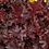 Thumbnail: Heuchera Chocolate Ruffles