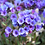 Thumbnail: Pulmonaria Blue Ensign