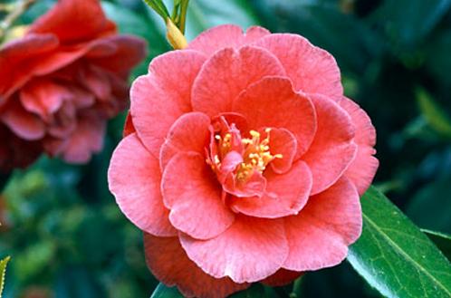 Camellia Jap. Adolphe Audusson