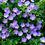 Thumbnail: Geranium Rozanne