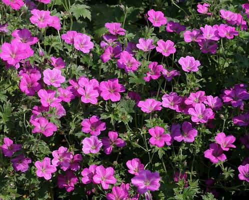 Geranium � riversleaianum 'Russell Prichard'