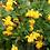 Thumbnail: Berberis Buxifolia 'Nana'