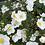 Thumbnail: Anemone Honorine Jobert