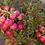 Thumbnail: Gaultheria mucronata 'Red'
