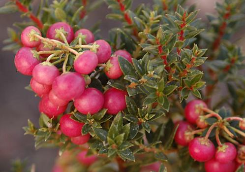 Gaultheria mucronata 'Red'