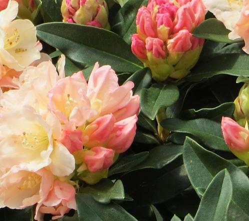 Rhododendron Yak 'Golden Torch'