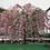 Thumbnail: Prunus 'Kiku-Shidare-Zakura'