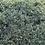 Thumbnail: Euonymus 'Silver Queen'