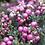 Thumbnail: Gaultheria mucronata 'Pink'