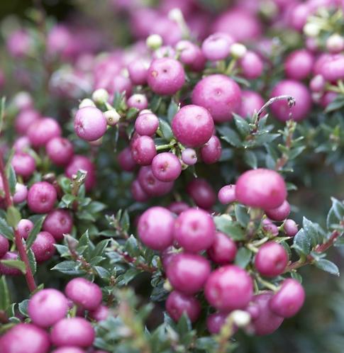 Gaultheria mucronata 'Pink'