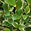 Thumbnail: Griselinia littoralis 'Variegata'
