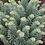 Thumbnail: Euphorbia Silver Swan
