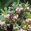 Thumbnail: Arctostaphylos uva-ursi