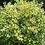 Thumbnail: Buxus sempervirens