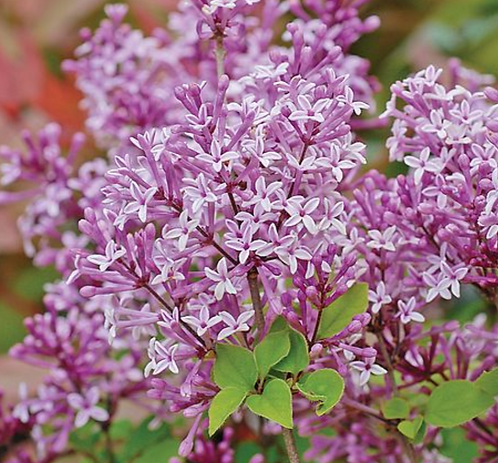Syringa meyeri 'Palabin' ball top