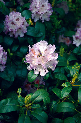 Rhododendron Hyb. 'Blue Peter'