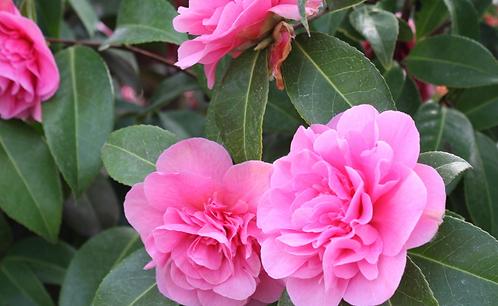 Camellia Willi. Debbie