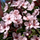 Thumbnail: Prunus x cistena