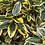 Thumbnail: Elaeagnus 'Gilt Edge'