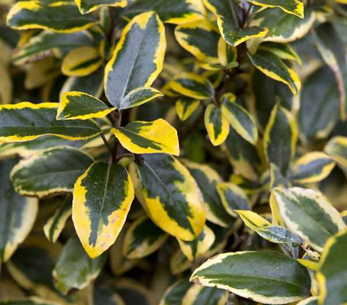 Elaeagnus 'Gilt Edge'