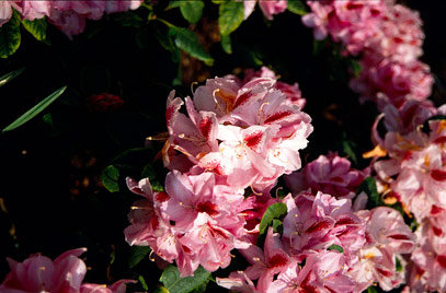 Rhododendron Hyb. 'Furnivalls Daught'