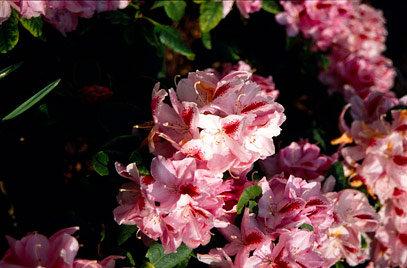 Rhododendron Hyb. 'Furnivalls Daught'