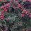 Thumbnail: Cotoneaster 'Cornubia'