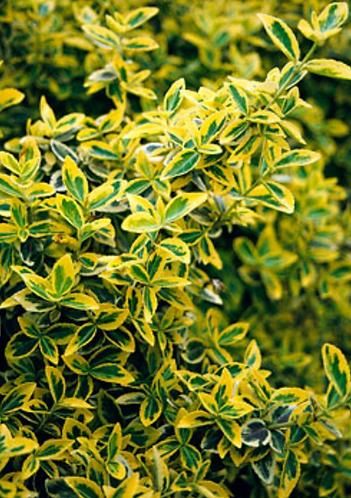 Euonymus 'Emerald N Gold'