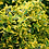 Thumbnail: Euonymus 'Emerald N Gold'
