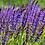 Thumbnail: Salvia Nemorosa Mainacht