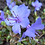 Thumbnail: Rhododendron 'Dwarf Blue Star'