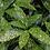 Thumbnail: Aucuba japonica 'Variegata'