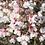 Thumbnail: Prunus incisa 'Kojo-No-Mai'