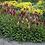 Thumbnail: Persicaria Affinis Darjeeling Red