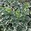 Thumbnail: Euonymus 'Emerald Gaiety'