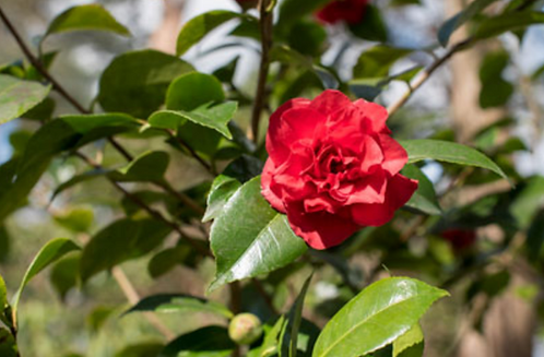 Camellia Jap. Ruby Wedding