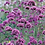 Thumbnail: Verbena bonariensis 'Lollipop'