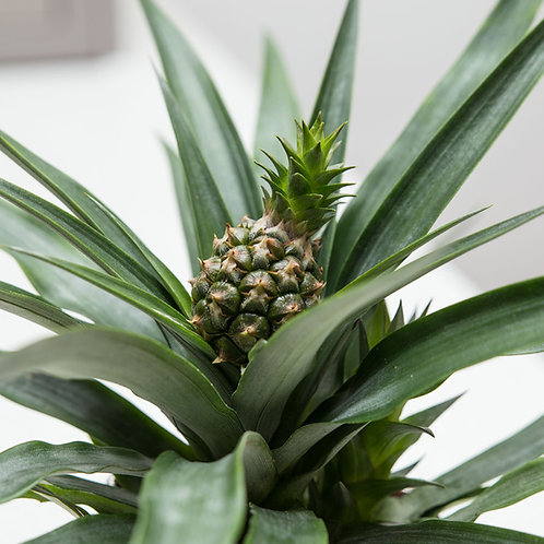 Pineapple Plant (Ananas Candido)