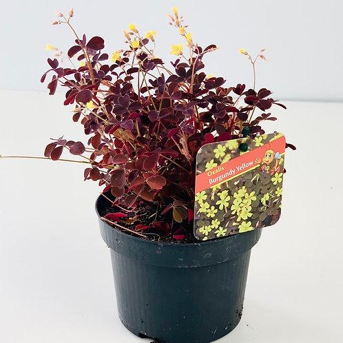 Burgundy Oxalis Yellow Flower