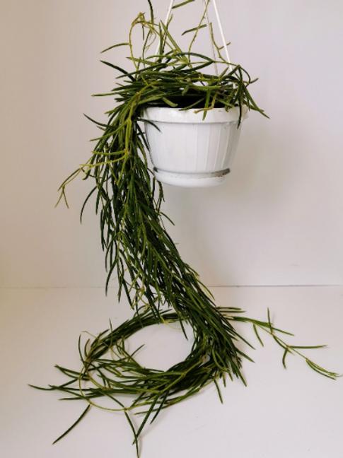 Hoya Linearis Hanging - aka Wax Plant / Porcelain Flower