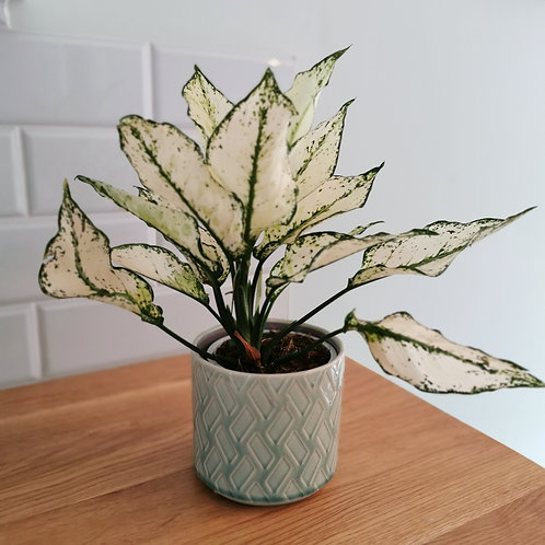 Chinese Evergreen - Aglaonema - Snow White