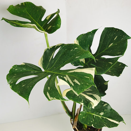 Variegated Swiss Cheese Plant (Thai Constellation)