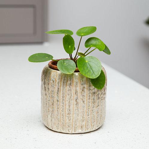 Planter no 159 (Swedish Oatmeal)