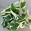 Thumbnail: Scindapsus Njoy, Epipremnum, Devils Ivy