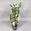 Thumbnail: Devil's Backbone 'Mystery Planet' Pedilanthus tithymaloides - Houseplant 12cm po