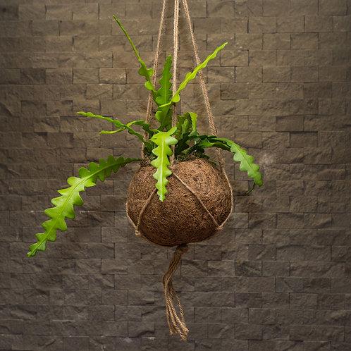 Fishbone Cactus Kokedama (Epiphyllum anguliger)