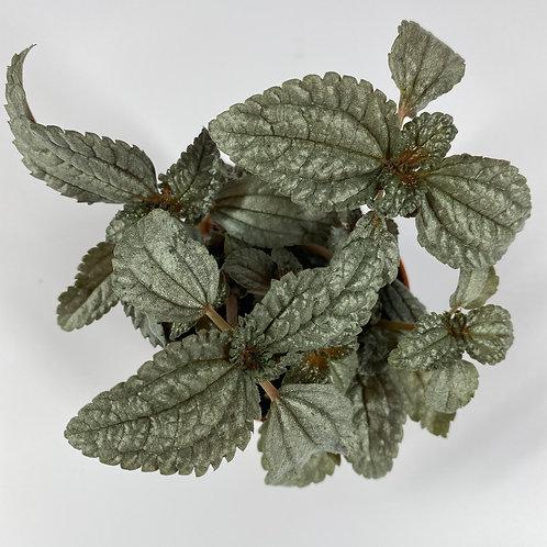 Pilea Ellen Grey Houseplant - 8cm Pots